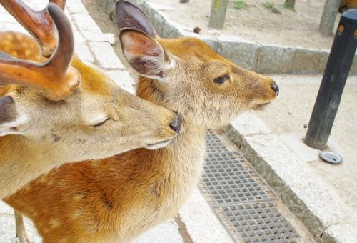 鹿 オス メス 見分け方