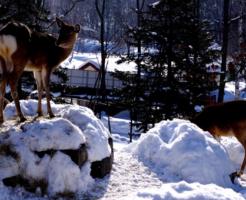 鹿 冬 過ごし方