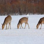鹿は冬眠するの?時期とは?