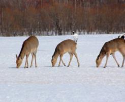 鹿 冬眠 時期