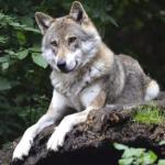 狼と狐の違いとは?交配は可能なの!?