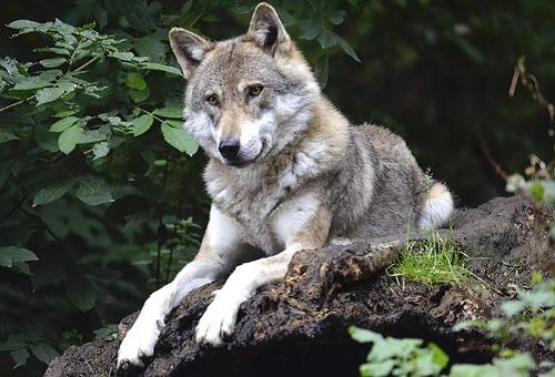 狼 狐 違い 交配