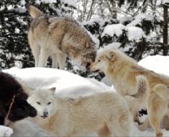 狼 群れ リーダー