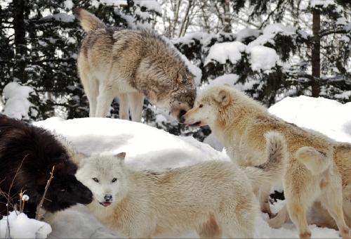狼 群れ リーダー オメガ
