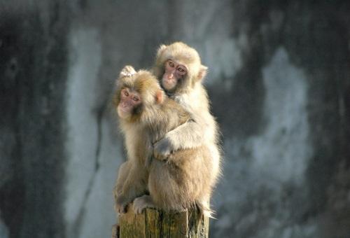 猿 花粉症 原因