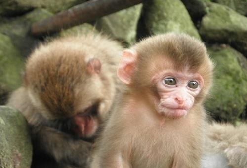 猿 捕獲 方法