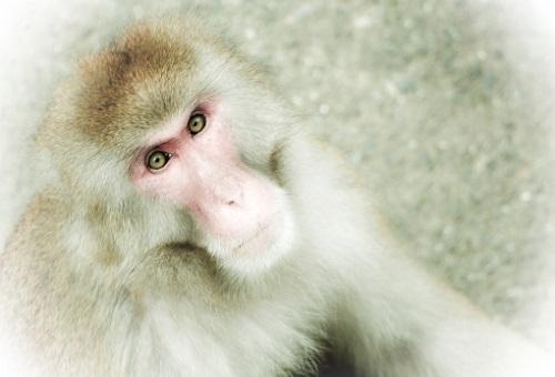 猿 箕面 どこ 凶暴