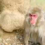 高崎山の猿の歴史について!ボスザルの特徴は!?