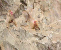 猿 野生 撃退 音
