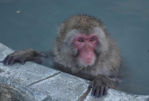 猿 新種 レスラ