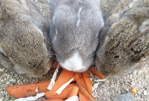 うさぎ 食べる 草 野菜