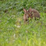 日本での野生のうさぎの生息地や種類について!