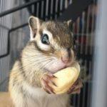 シマリスの餌は何がいい!?ミルワームやペレットは食べる?