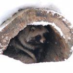 北海道でみれる野生のたぬきは?