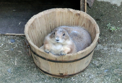 プレーリードッグ ペット 寿命