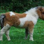 小型の馬ファラベラの寿命と値段とは!?