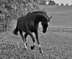 馬のフレグモーネの原因や治療!体に及ぼす影響は!?