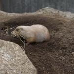 日本でプレーリードッグがいるおすすめの動物園は!?