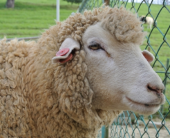 羊 目 横長 理由