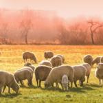 羊の頭数が多い国は?!日本はどれくらいいるの?