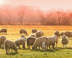 羊 日本 頭数 多い国