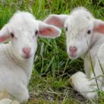 羊の赤ちゃんの体重や大きさとは!?