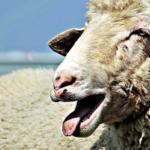 羊の鳴き声の特徴や意味は!?