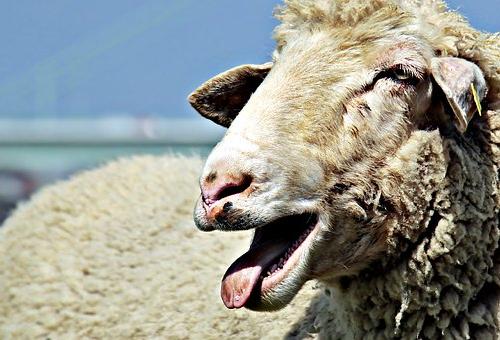 羊 鳴き声 意味