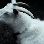 ヤギの体が臭い理由と対処方法とは!?