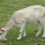 ヤギは雑草の除草効果がある!?