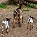 ヤギの出産の時期って?何匹出産するの!?