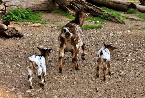 ヤギ 出産 何匹 時期