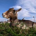 日本におけるヤギの歴史とは!?