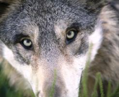 狼 目 見え方