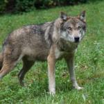 狼をペットとして日本で飼う事は可能なの!?値段は?