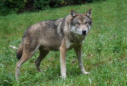 狼 ペット 日本 値段