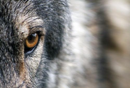 オオカミ 目 特徴 光る