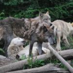 狼の数え方は1頭!?それとも1匹?