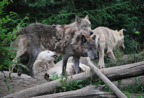 狼 頭 匹
