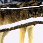 狼の絶滅による生態系による影響とは!?
