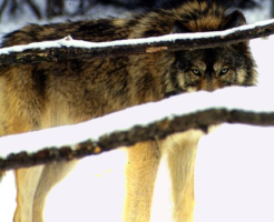 オオカミ 絶滅 生態系 影響