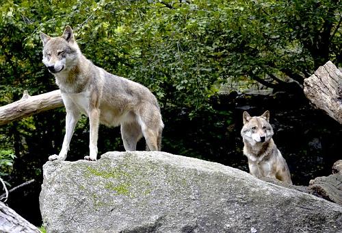 オオカミ 世界 分布 数