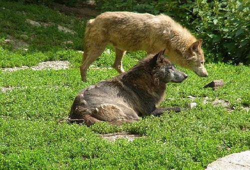狼 生態 繁殖 子供 数