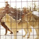 動物園では狼に何の餌を与えているの!?