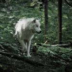 狼の平均寿命ってどれくらいなの!?