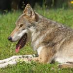 狼の耳の特徴!聴覚はいいの!?