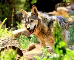 狼 狩り 特徴