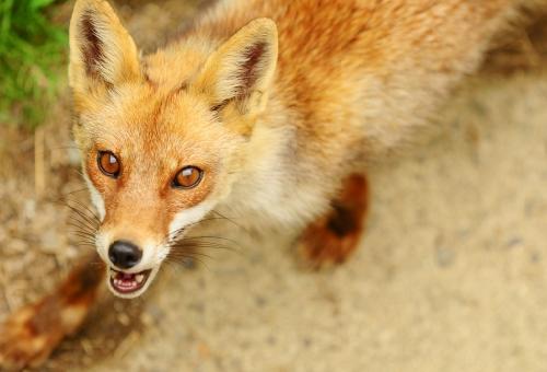 狐 コンコン 由来