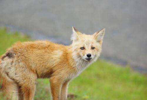 狐 年齢 人間換算