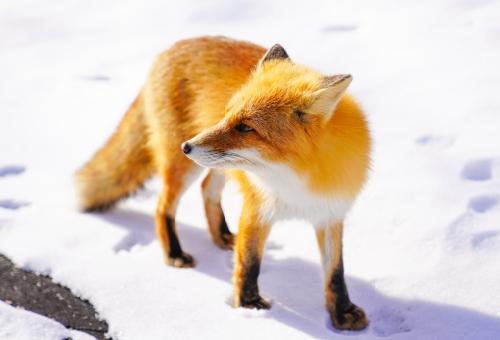 狐 種類 日本